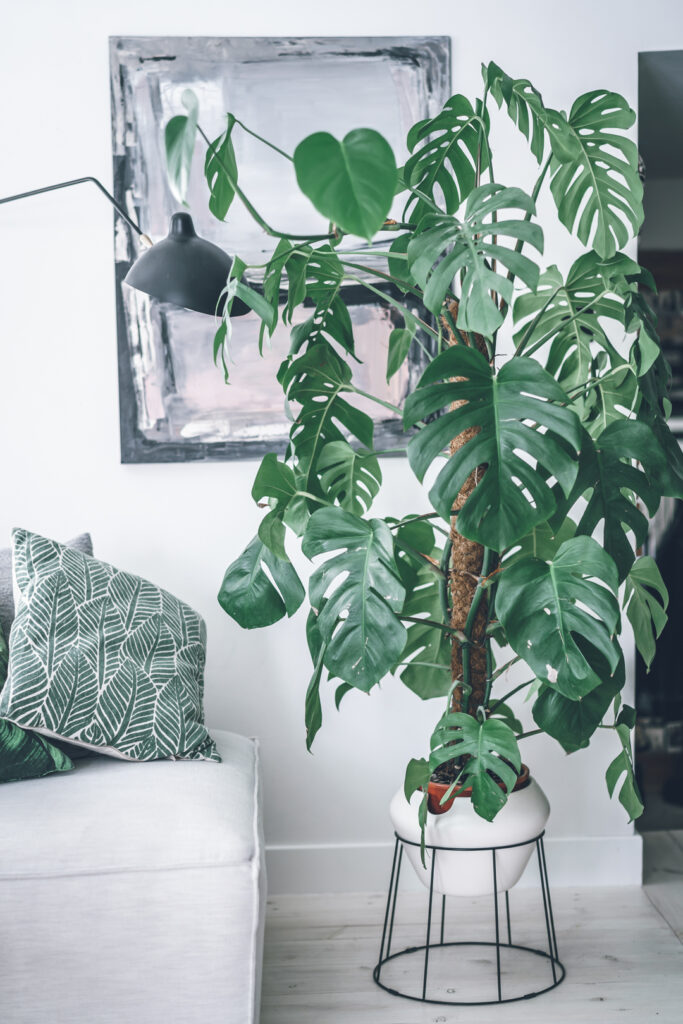 комнатное растение монстера