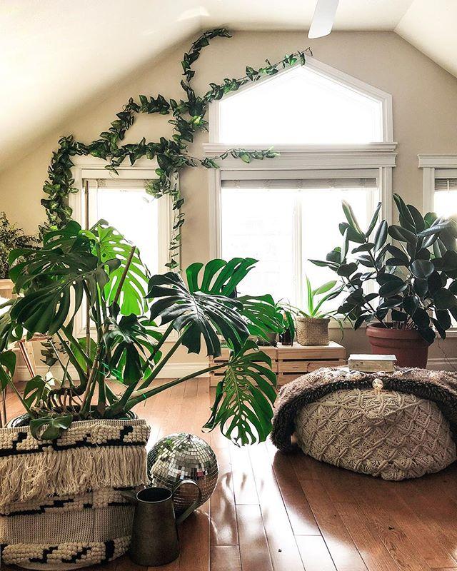 домашние растения монстера